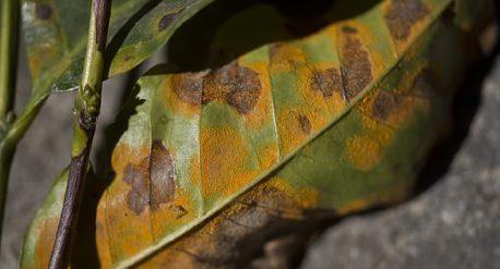 Coffee leaf rust blog, connect coffee roasters