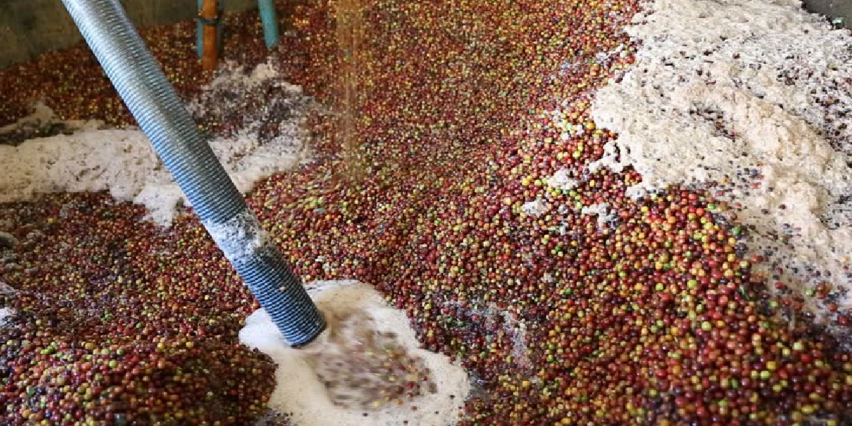 Natural vs Washed coffee processing