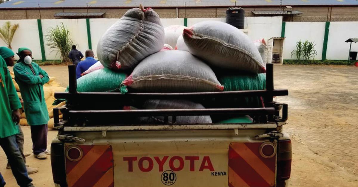 Natural processed coffee in Kenya