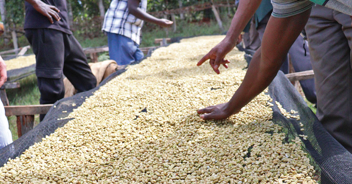 Coffee drying beds, Coffee skin dying, coffee parchments, coffee moisture content,Coffee defects