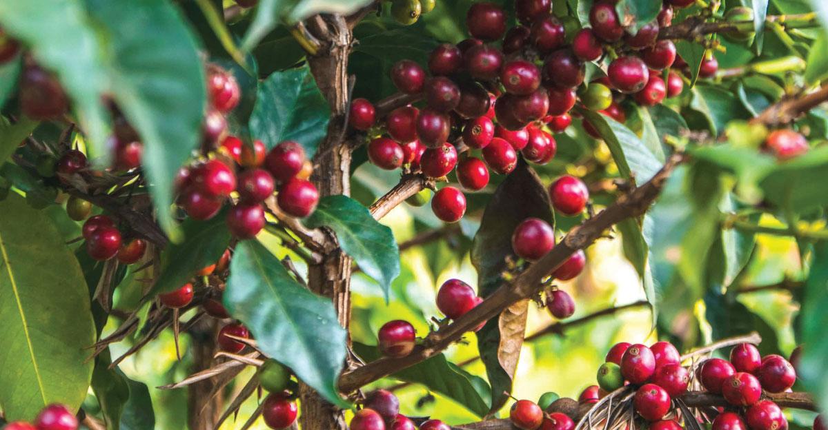 coffee cherry, green coffee, specialty coffee, coffee estates