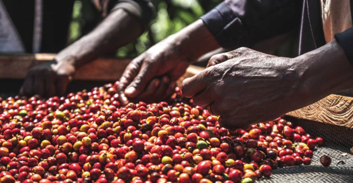 specialty coffee, Kenya coffee, green coffee, direct trade, coffee exporters, producers